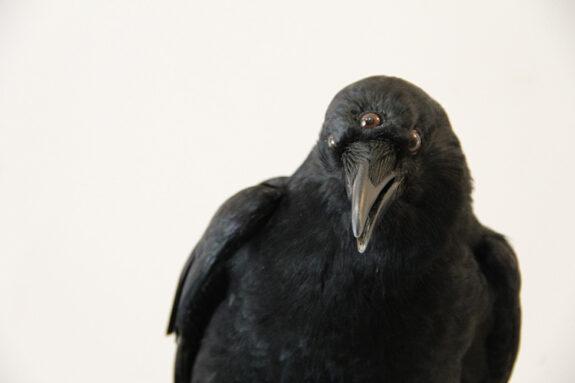 Got Taxidermied 3 Eyed Crow Bespokebug
